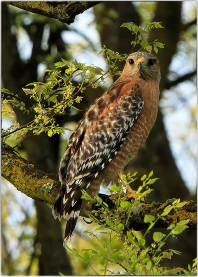 Red-Shouldered Hawk Stare-Down