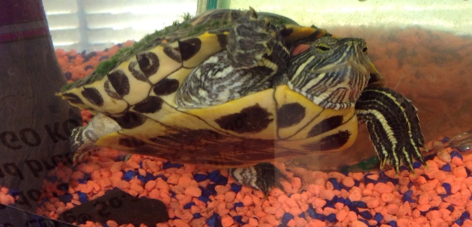 Texas water turtle, rescued and reviving!