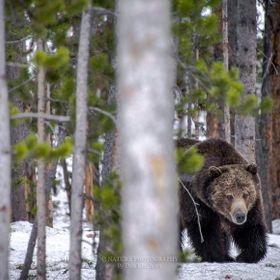 Brown Bear/Grizzly photographed in Yellowstone National Park.