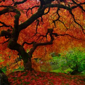 The Famous Maple bursts with color for a couple of days every fall - and photographers line up for an opportunity to photograph it. It's particul...
