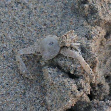 Baby Crab