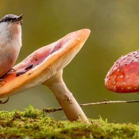 nuthatch on toadstool