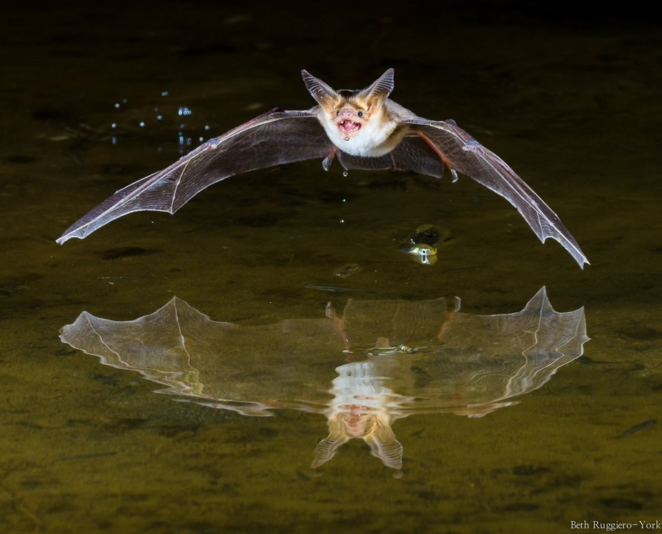 This Pallid Bat was photographed in southern Arizona.
