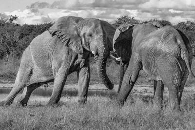 Bull Elephants fighting....