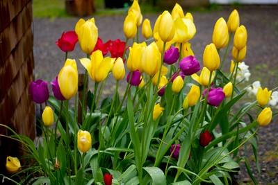 Tulips0181