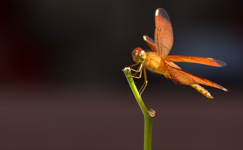 yellow dragonfly on a branch