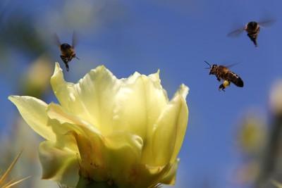 Bees Dancing