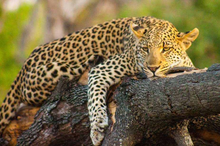 Leopard relaxing in the late afternoon sun.