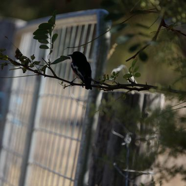 Black birdie