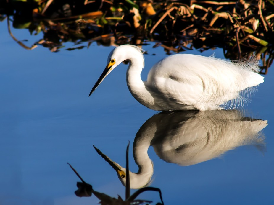 A Snowy Egret (Egretta Thula) waiting for a fish to swim by at Lake Houston in Houston, Texas, USA.