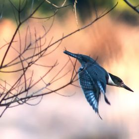 A male Belted Kingfisher (Megaceryle Alcyon) diving from the branches of a tree to the lake below (Lake Houston) in order to catch an afternoon m...