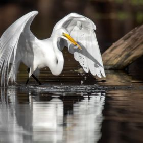 A Great Egret (Ardea Alba) at Lucious Bayou catching a small minnow to eat in Houston Texas.