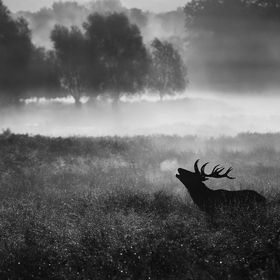 A red deer stag on a misty morning