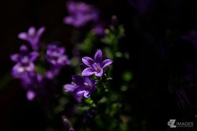 Viola |Violette