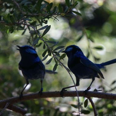 little blue birds
