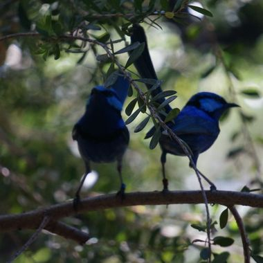 little blue birds 2