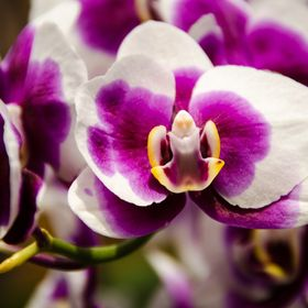 Love the color and the composition of this purple phalaenopsis orchid. Such a beauty.The center almost looks like an angel to me.