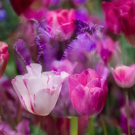 Captured these tulips in Atlanta, Georgia. This is an in camera multiple exposure. The pink and purple tulips were in different sections so I ran...