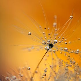 A single dandelion seed covered in water droplets reflects a purple orchid and an orange dahlia flower