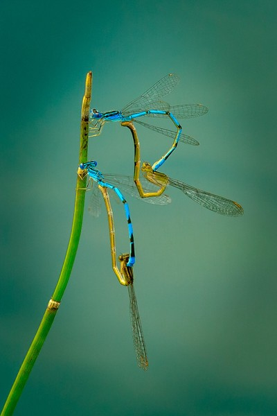 Dragonfly Foursome....IMG_6743