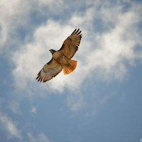 Following two nesting hawks along the Centennial High Line Canal in Littleton, Colorado. This one flew over my head to make sure that I was not a...