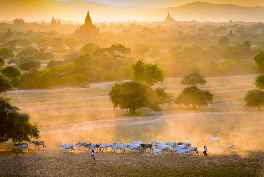 A herd of cattle returning from pasture at the dusty evening. Photo was taken during waiting for ...