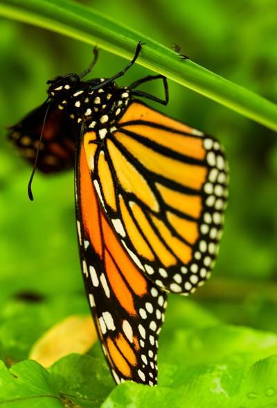 Danaus plexippus - American butterfly