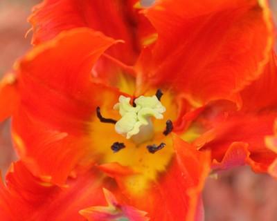 Fiery Parrot Tulip