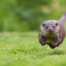 A little otter running straight at me....