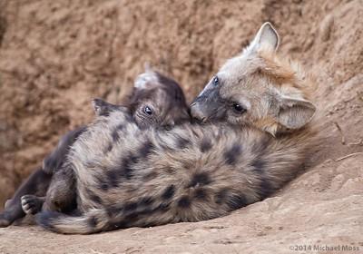Hyena Cubs Comfort