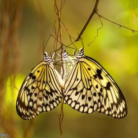 Three butterflies together