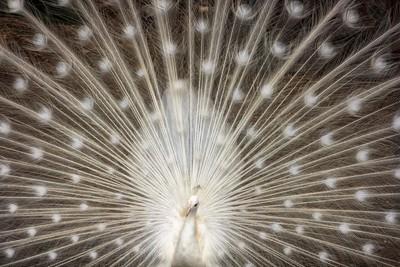 Rare White Peacock