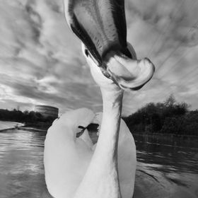 Tchaikovsky is a highly territorial and aggressive male Mute swan with a very powerful neck! I noticed that he attacked everything that came clos...