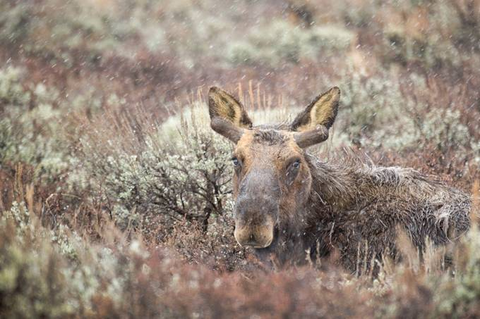 Resting Moose by StacyWhitePhoto - Can You See Me Photo Contest