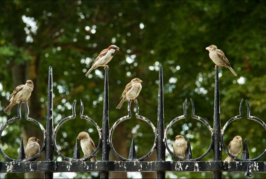 House sparrows in Notre Dame Gardens