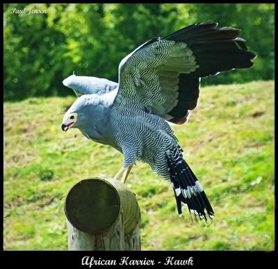 African Harrier - Hawk