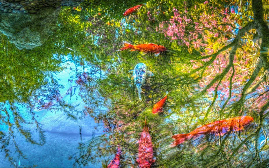 An HDR photo of a koi pond