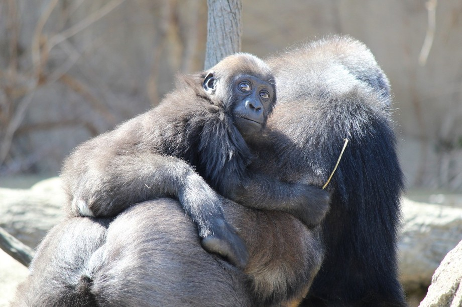 I took this picture at the Cincinnati zoo. I thought this baby gorilla with her mother was just s...