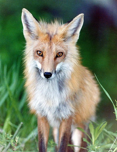 Fox Female