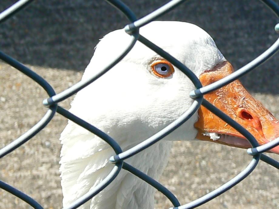 Goose blue eyes