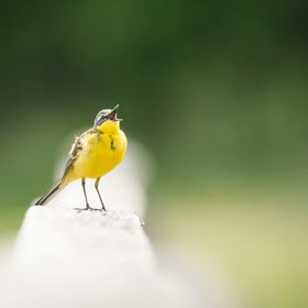 Yellow wagtail singing with joy to welcome the arrival of Swedish spring.