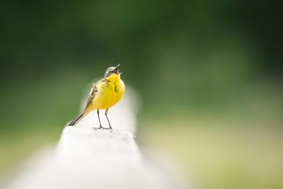 Yellow Wagtail Serenade