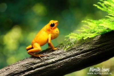 Strawberry poison frog (Oophaga pumilio Eldorado)