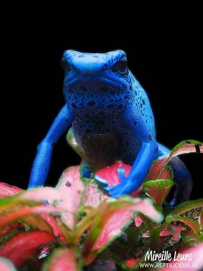 Dyeing poison frog (Dendrobates tinctorius azureus)
