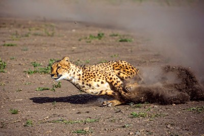 Animal Ark ......... Cheetah Run .... Serious fun shooting these beauties