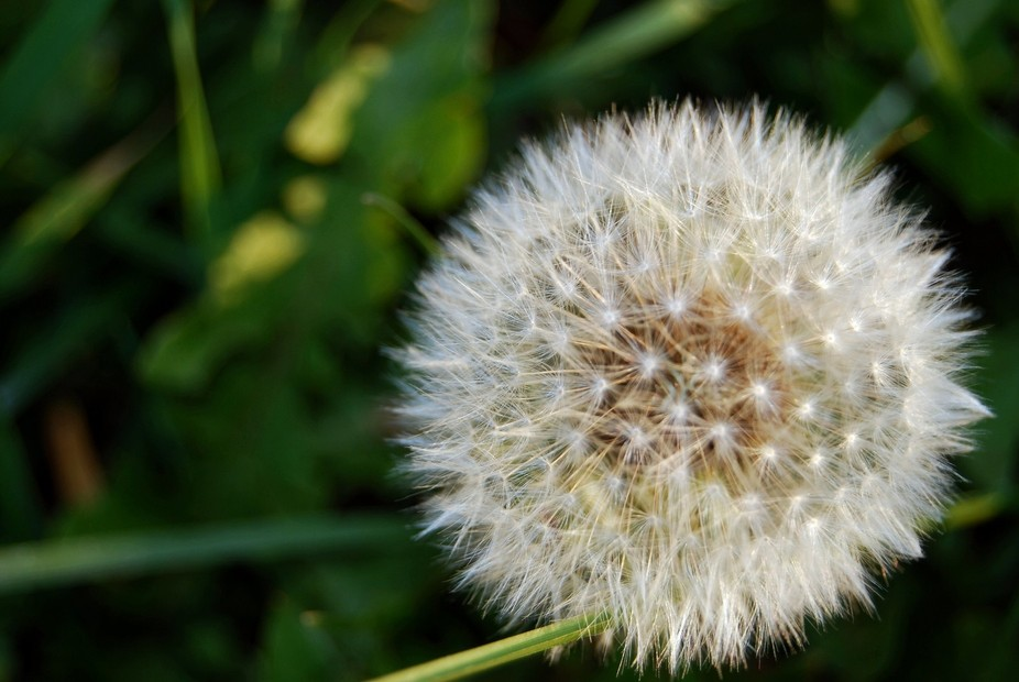 Dandelion that has gone to seed