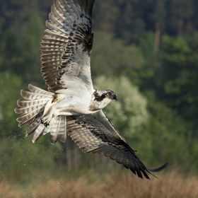 After an unsuccessful dive this young Male Osprey flys away