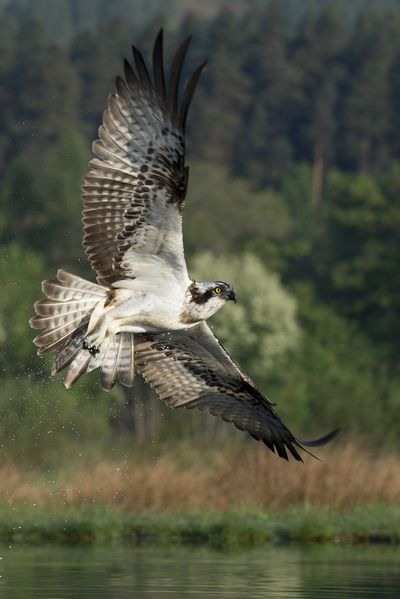 Osprey tries again