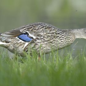 Taken from an Osprey hide, this Mallard was grazing oblivious to our presence