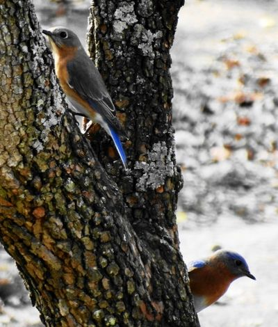 TreeTrunk with BlueBirds